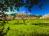 Almond trees and blossom, Mallorca, Spain