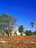 Country house with poppy field, near Manacor, Mallorca, Spain