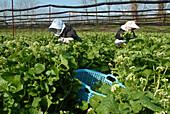 Female Pickers in a horseradish field, Daio Wasabi Farm, Matsumoto, Nagano-ken, Japan