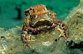 Mating toads, Bufo bufo, Germany, Bavaria