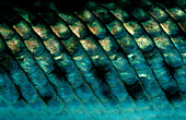 Spotted gar, fish scales, Lepisosteus oculatus, North america, america, USA, Florida