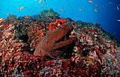 Giant moray, Gymnothorax javanicus, Maldives Islands, Indian ocean, Ari Atol, Atoll