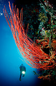 Scuba diver and Coral reef, Indonesia, Wakatobi Dive Resort, Sulawesi, Indian Ocean, Bandasea