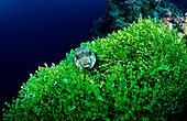 Ringed puffer on algas, Arothron hispidus, Indonesia, Wakatobi Dive Resort, Sulawesi, Indian Ocean, Bandasea