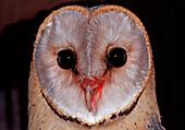 Barn owl, Tyto alba, Germany, Bavaria
