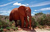 Afrikanischer Elefant, Loxodonta africana, Südafrika, Suedafrika, Addo Elefanten Nationalpark African Elephant, Loxodonta africana, South Africa, Addo Elephant National Park