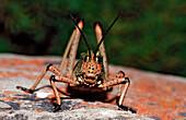 Pyrgomorphid Grasshopper , Phymateus sp., South Africa, Tsitsikamma National Park, Otter trail