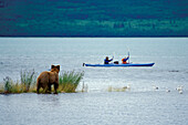 Brown bear watching tourists in kayak, Katmai National Park, Alaska, USA, America