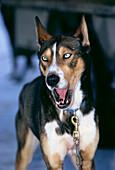 Close-up of a husky barking, sled dog