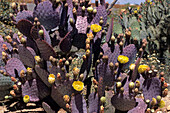Opuntia basilaris Cactus, Near Tucson, Arizona, USA