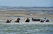 Common Seals (Phoca vitulina) resting on sand bank, East Frisian Islands, North Sea, Germany