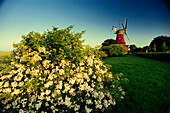 Windmill, blooming shrub in foreground, Greetsiel, East Friesland, Lower Saxony, Germany