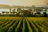View over vineyard to River Rhine, Oestrich-Winkel, Hesse, Germany