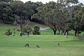 Kangaroos on Anglesea Golf Course, Anglesea, Victoria, Australia
