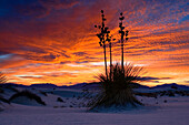 Soaptree at sunset, Yucca elata, gypsum dune field, White Sands National Monument, New Mexico, USA