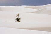 Soaptree yucca in dunes in the sunlight, White Sands National Monument, Chihuahua desert, New Mexico, USA, America