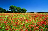 Poppies in field, Neuhardenberg, Brandenburg, Germany