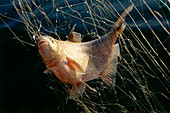 Close up of a fish, Carp Bream, caught in the net, Lake Chiemsee, Bavaria, Germany, Europe