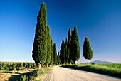 Cypress trees in a row, Toskana, Italy, Europe