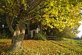 A small chapel and tree with Autumn foliage, Kalvarienberg, near Bidingen, Allgaeu, Upper Bavaria, Bavaria, Germany