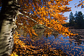 Lake Deixlfurt and tree with Autumn foliage, near Tutzing, Upper Bavaria, Bavaria, Germany