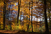 A forest and trees with Autumn foliage, near Tutzing, Upper Bavaria, Bavaria, Germany