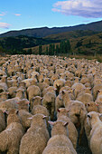 A flock of sheep, Crown Range Saddle, mountain pass, Cardrona, South Island, New Zealand