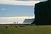 Islandic horses grazing in a field, Pony, Iceland
