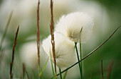 A close up of cotton grass