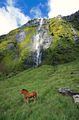 An Icelandic pony in a meadow with a waterfall in the background, Iceland