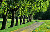 Alley with maple trees, Upper Bavaria, Bavaria, Germany
