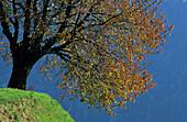 Autumnally deciduous tree, Gherdëina Valley, Trentino-South Tyrol, Italy