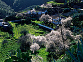 Blooming almond, Gran Canaria, Canary Islands, Spain