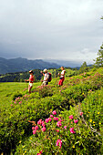 Three hikers walking over meadow with alpine roses, Grossarl Valley, Salzburg, Austria
