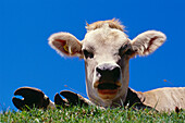Cattle lying on meadow, Upper Bavaria, Bavaria, Germany