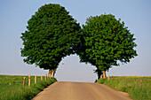 Chestnut trees at country road, Upper Bavaria, Bavaria, Germany