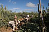 Ritt durch Kakteenwald nahe Rancho Notorious, Aruba, ABC-Inseln, Niederländische Antillen, Karibik