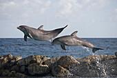 Springende Delfine an der Curacao Dolphin Academy, Bapor Kibra, Curacao, ABC-Inseln, Niederländische Antillen, Karibik