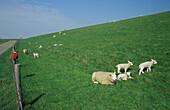 Island of Texel, embankment with sheep, Netherlands, Europe