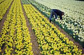 Daffodils on field near Zwaanshoek , Netherlands, Europe