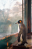 King Penguin (Aptenodytes patagonicus) looking out of a window