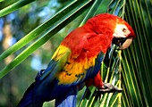 Scarlet macaw Ara macao Costa Rica