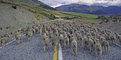 new zealand south island flockof sheep on the street
