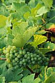 Close of green grapes and grape vines, Wachau, Austria