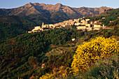 Bloomig gorse, mountain village Marciana, Elba, Tuscan Island, Mediterranean Sea, Tuscany, Italy