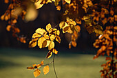 Autumn foliage, leaves in autumn colour, beech forest, Bavaria, Germany