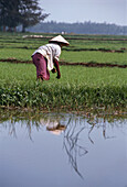 Woman working in a rice field, Rural Scene, Danang, Vietnam