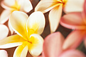 Close up of Frangipani Blossoms, Plumeria Blossoms, Flowers, Natural Beauty, Mauritius, Africa