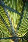 Close up of a palm leaf, palm tree, Green, Nature, Mauritius, Africa