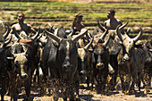 A herd of cattle in Andringitra National Park, Madagascar, Africa